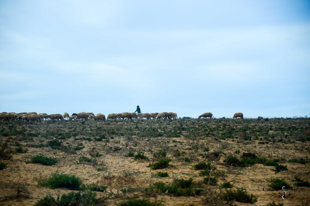 Schafsherde mit Hirte und Hund in Agadir in Marokko