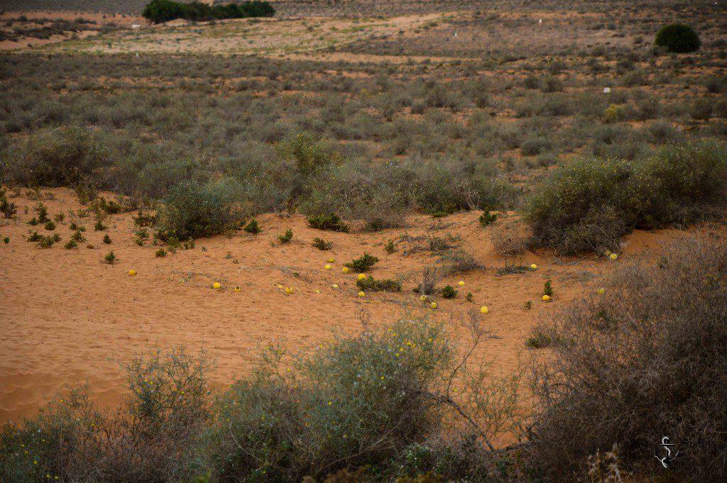 Wüstenwassermelone in Marokko