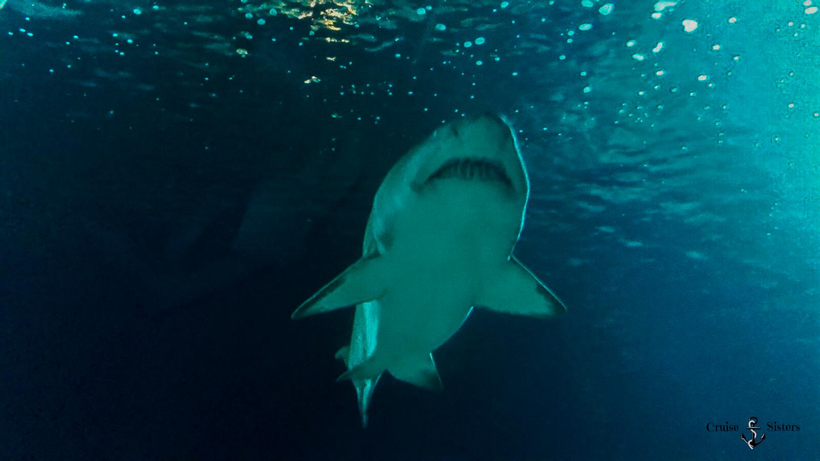 Hai im Tunnel im Oceanografic