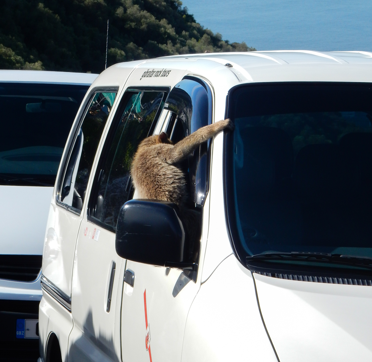 Wild monkeys climbing in the minibus in Gibraltar