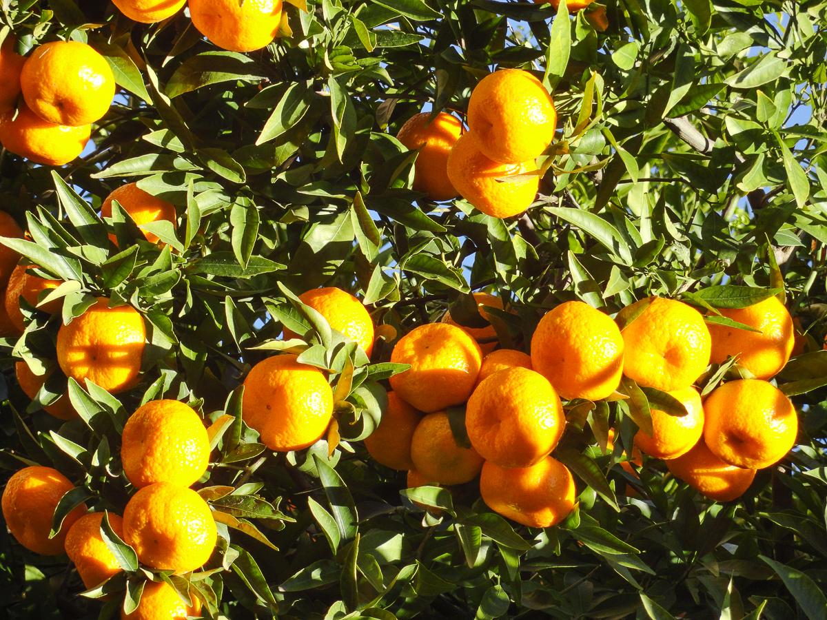 Orangenbäume auf dem Weg nach Port de Sóller