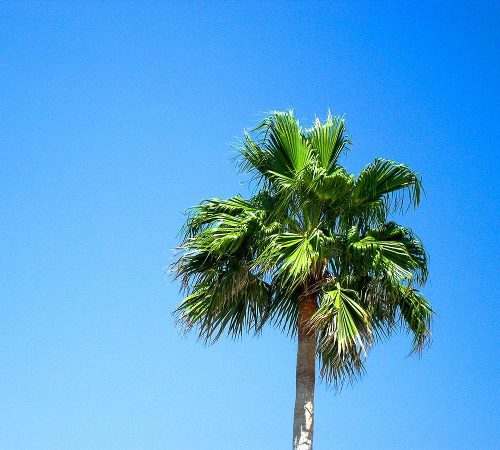 Palme auf Mallorca